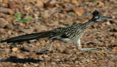 Road runner the bird, not the cartoon