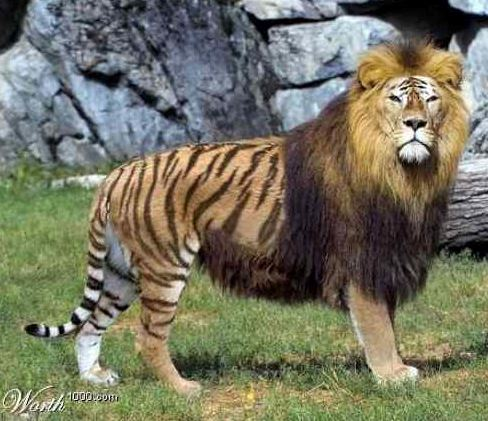 Amazingly this is a REAL animal, it's called a Liger